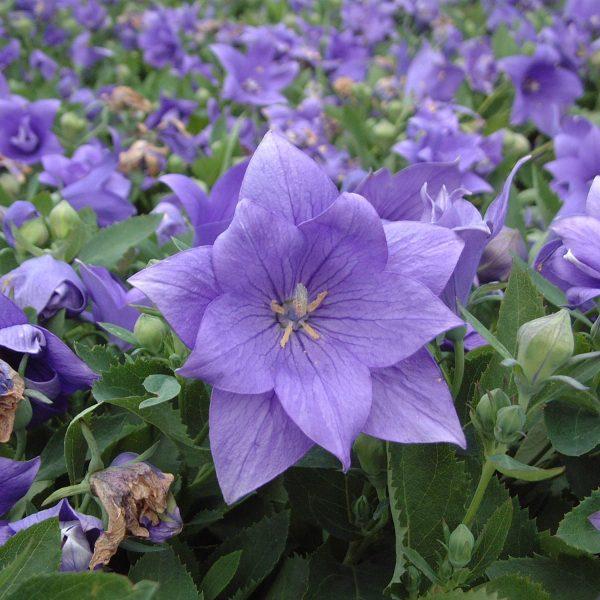 PLATYCODON ASTRA DOUBLE BLUE BALLOON FLOWER