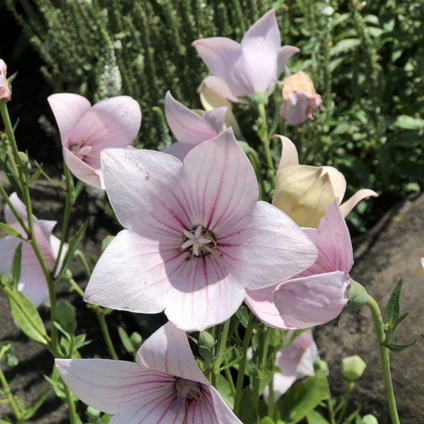 PLATYCODON ASTRA PINK BALLOON FLOWER