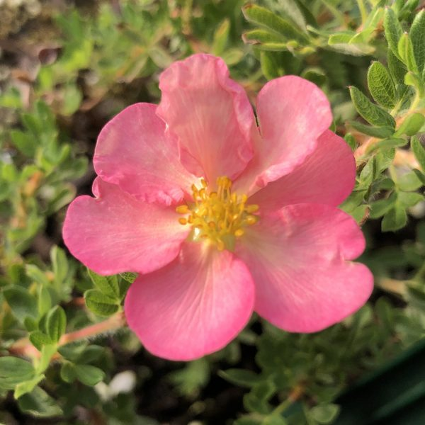 POTENTILLA HAPPY FACE HEARTS PINK POTENTILLA