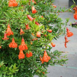 Pomegranate - Punica