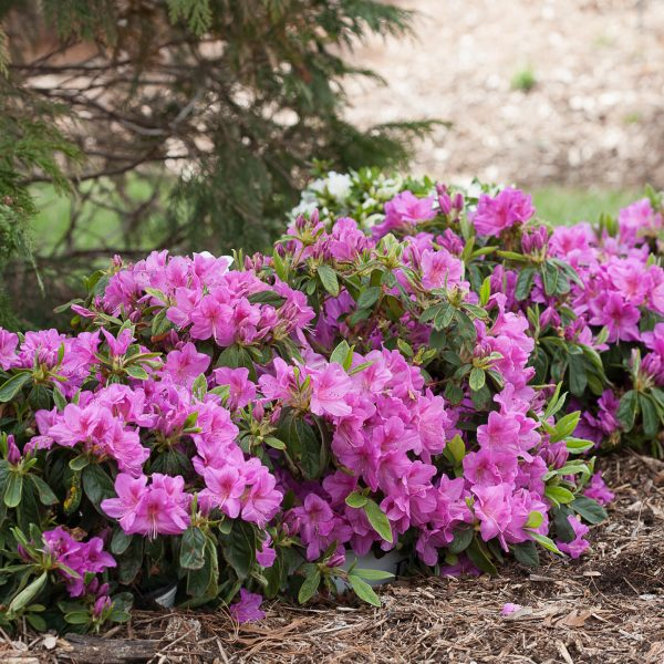 RHODODENDRON BLOOM A THON LAVENDER REBLOOMING AZALEA