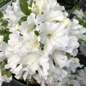RHODODENDRON BLOOM A THON WHITE REBLOOMING AZALEA
