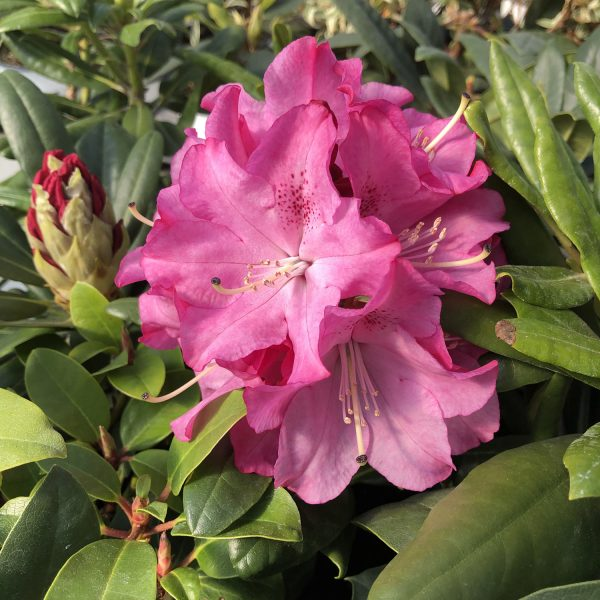 RHODODENDRON DANDY MAN PINK RHODODENDRON