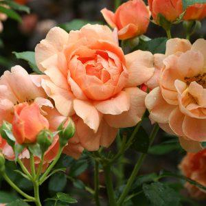 Rose - Rosa