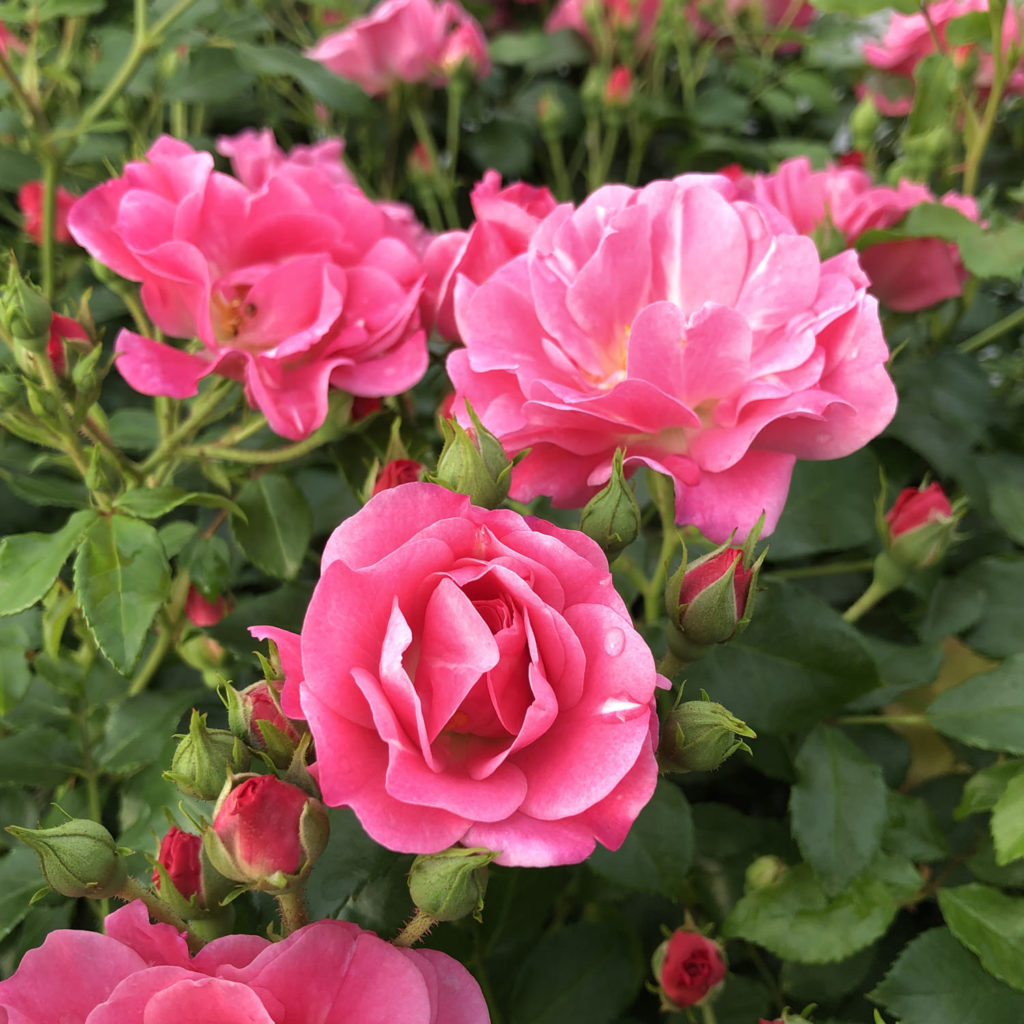 ROSA OSO EASY DOUBLE PINK ROSE LANDSCAPE