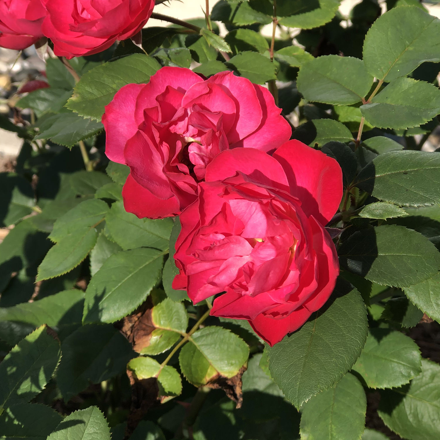 Red Flowers 1 Gallon Oso Easy Double Red Landscape Rose Rosa Live Shrub