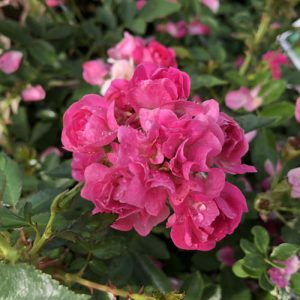 ROSA OSO EASY PEASY ROSE LANDSCAPE