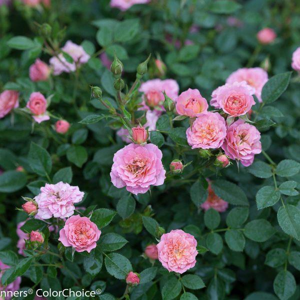 ROSA OSO EASY PETIT PINK ROSE LANDSCAPE