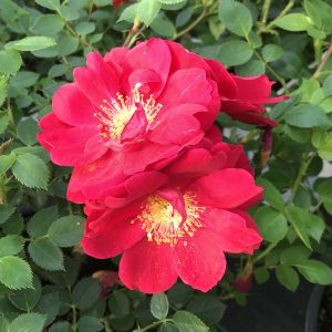ROSA OSO EASY URBAN LEGEND ROSE LANDSCAPE