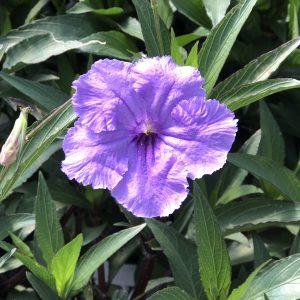 Ruellia - Mexican Petunia