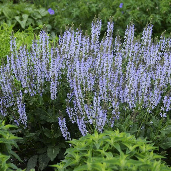 SALVIA COLOR SPIRES CRYSTAL BLUE SALVIA