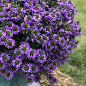 Scaevola - Fan Flower