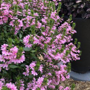 SCAEVOLA WHIRLWIND PINK FAN FLOWER