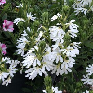 SCAEVOLA WHIRLWIND WHITE FAN FLOWER