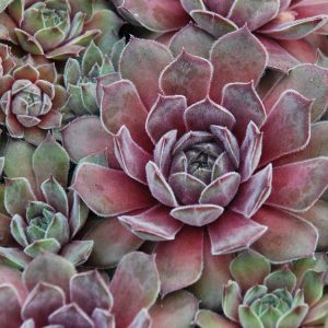 SEMPERVIVUM CHICK CHARMS SILVER SUEDE HEN AND CHICKS