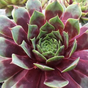 SEMPERVIVUM CHICK CHARMS WATERMELON RIPPLE HEN AND CHICKS