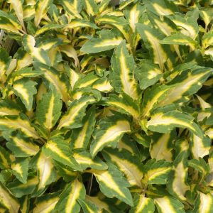 SOLENOSTEMON COLORBLAZE ALLIGATOR TEARS COLEUS