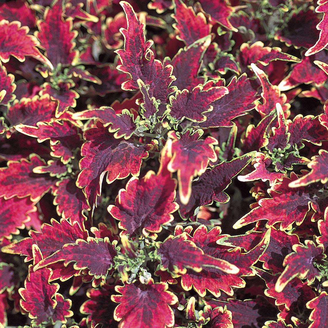 Solenostemon Colorblaze Sky Fire Buy Coleus Annuals Online