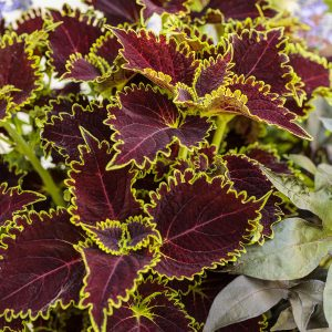 SOLENOSTEMON COLORBLAZE WICKED WITCH COLEUS
