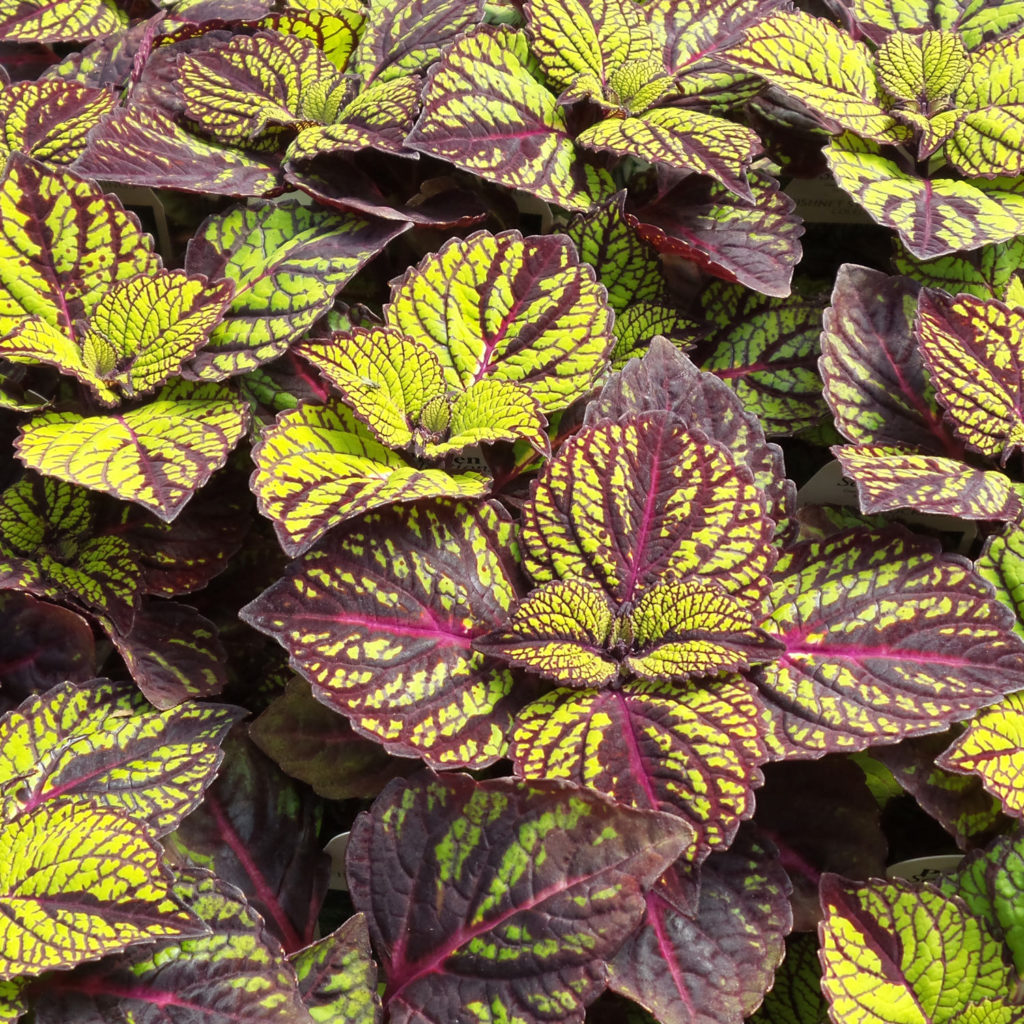 SOLENOSTEMON FISHNET STOCKINGS COLEUS