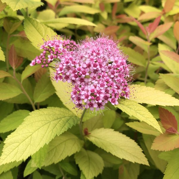 SPIRAEA DOUBLE PLAY BIG BANG SPIREA