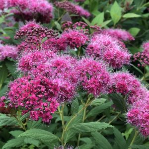 SPIRAEA DOUBLE PLAY PINK SPIREA