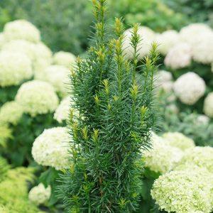 Yew - Taxus