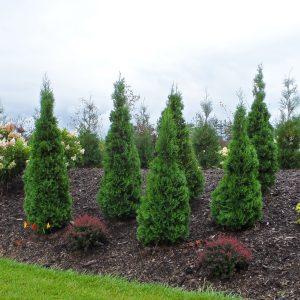 Arborvitae - Thuja