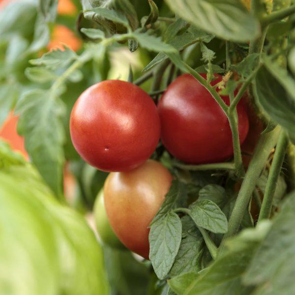 TOMATO GARDEN GEM TOMATO SMALL FRUIT