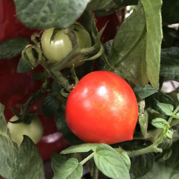 TOMATO TEMPTING TOMATOES GOODHEARTED TOMATO CHERRY