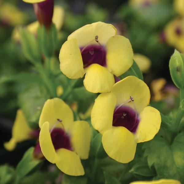TORENIA CATALINA GILDED GRAPE WISHBONE FLOWER