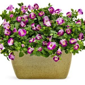 Torenia - Wishbone Flower