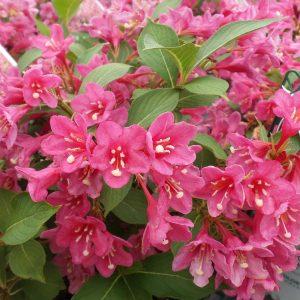 WEIGELA SONIC BLOOM PINK WEIGELA