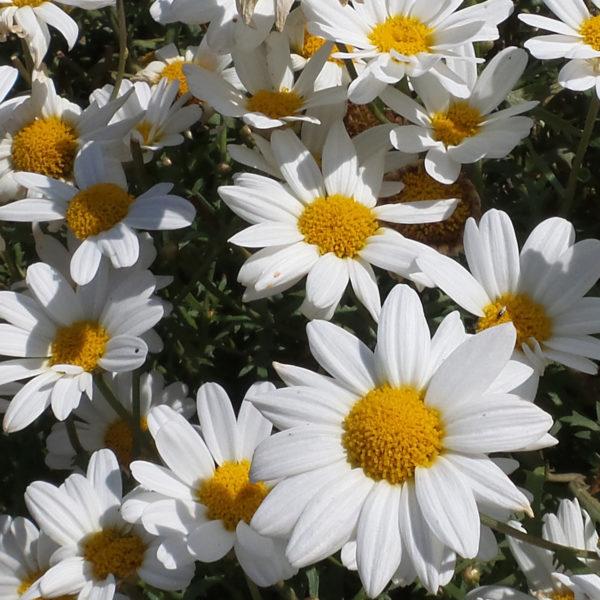 Argyranthemum Pure white Butterfly Marguerite Daisy