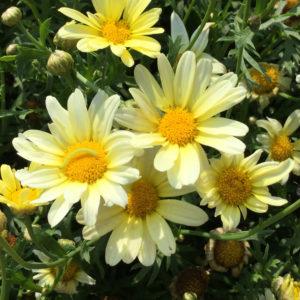 Argyranthemum Vanilla Butterfly Marguerite Daisy