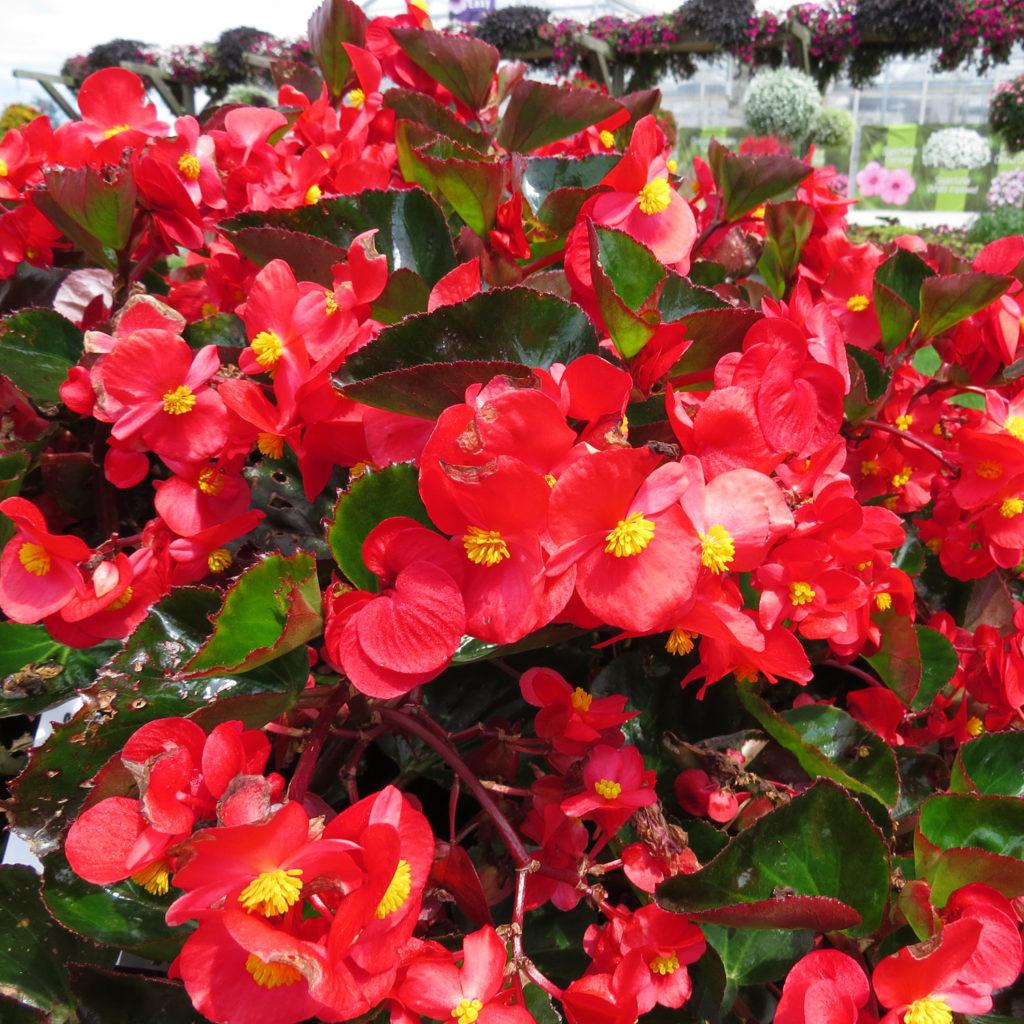 Begonia Surefire Red Angelwing Begonia