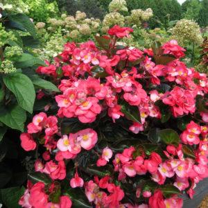 Begonia Surefire Rose Angelwing Begonia