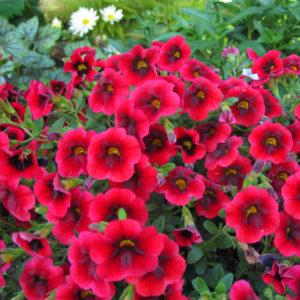 Calibrachoa Superbells Pomegranate Punch Millionbells