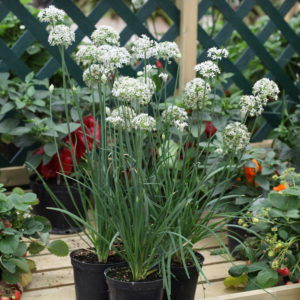Chive Garlic Chive