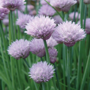 Chive Onion Chive