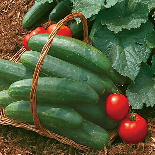 Cucumber Bush Champion Cucumbers