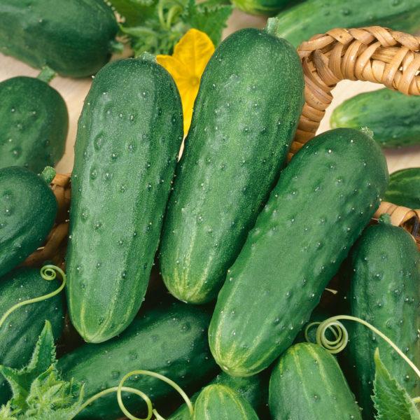 Cucumber Fresh Pickles Cucumber