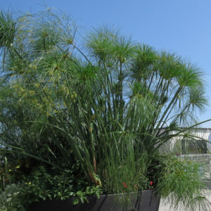 Cyperus Graceful Grasses King Tut Egyptian