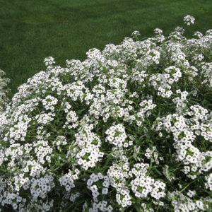 Lobularia Snow Princess Sweet Alyssum