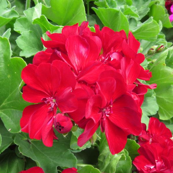 Pelargonium Boldly Burgundy Geranium