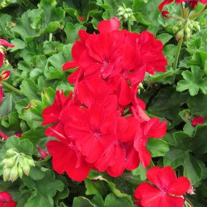 Pelargonium Boldly Dark Red Geranium
