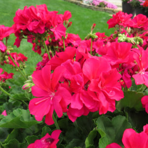 Pelargonium Boldly Hot Pink Geranium