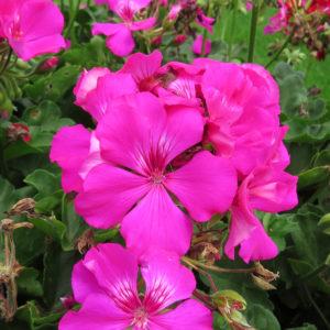Pelargonium Boldly Lavender Rose Geranium