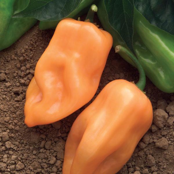 Pepper Burning Bush Pepper