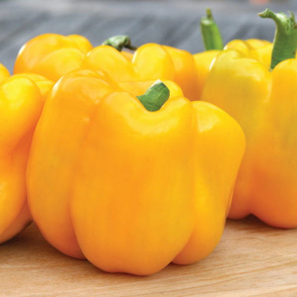 Pepper Gold Standard Bell Pepper